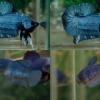 (ขายแล้วครับ)ปลากัดครีบสั้น - Halfmoon Plakats มาเป็นคู่1