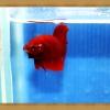 ปลากัดครีบสั้น - Halfmoon Plakats SUPER RED011