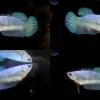 (ขายแล้วครับ)ปลากัดครีบสั้นตัวเมีย-Halfmoon Plakats Female Fancy Green
