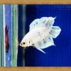 ปลากัดครีบสั้นหางคู่ - Fancy Halfmoon Plakats Double Tails011