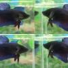 """(ขายแล้วครับ)""""คัดเกรด""""ปลากัดยักษ์ครีบสั้น-Giant Fancy Lavender"""