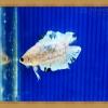 ปลากัดครีบสั้นหางคู่ - Fancy Halfmoon Plakats Double Tails033
