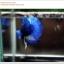 พิเศษ คัดเกรดปลากัดครีบสั้น-Halfmoon Plakat BLue Mustrad Grade AAA+ thumbnail 6