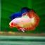 คัดเกรดปลากัดครีบสั้น-Halfmoon Plakat Orange Fancy thumbnail 2