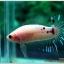 คัดเกรดปลากัดครีบสั้น-Halfmoon Plakad Fancy KOI thumbnail 2
