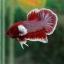 """(ขายแล้วครับ)""""คัดเกรด""""ปลากัดครีบสั้นหูช้าง-Halfmoon Plakats Super BigEar Lavender thumbnail 5"""