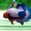 Hi - Quality Grade AAA + คัดเกรดปลากัดครีบสั้น-OVer Halfmoon Plakat Fancy Dragon Quality Grade AAA+ thumbnail 8