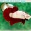 """(ขายแล้วครับ)มาแล้วสวยแปลก""""คัดเกรด""""ปลากัดครีบสั้น-Halfmoon Plakats Fancy Red Marble BF thumbnail 5"""