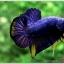 คัดเกรดปลากัดครีบสั้น-Halfmoon Plakad Fancy Blue Mastrad thumbnail 2