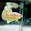 """(ขายแล้วครับ)""""คัดเกรด""""ปลากัดครีบสั้น-Halfmoon Plakats Gold Platinum thumbnail 3"""