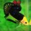 (แถมตัวเมีย 1 ตัว)VIP การันตีไม่สวยจริง เอาเงินคืนไปรับประกันครับ Hi - Premium Grade AAA+ คัดเกรดปลากัดครีบสั้น-Over Tails Halfmoon Plakad The Mask Yellow Nice Fish thumbnail 4