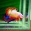 คัดเกรดปลากัดครีบสั้น-Halfmoon Plakat Orange Fancy thumbnail 1
