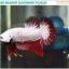 """""""คัดเกรด""""ปลากัดครีบสั้น-Halfmoon Plakats Red Dragon Quality Grade thumbnail 5"""