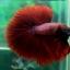 """(ขายแล้วครับ)""""คัดเกรด""""ปลากัดครีบยาว-Halfmoon Super Red thumbnail 6"""