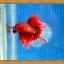 ปลากัดครีบยาว - Halfmoon thumbnail 4