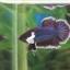 """(ขายแล้วครับ)""""คัดเกรด""""ปลากัดครีบสั้นหูช้าง-Halfmoon Plakats Big Ear Lavender thumbnail 5"""