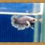 ปลากัดครีบสั้น - Halfmoon Plakats Fancy thumbnail 3