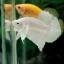 """(ขายแล้วครับ)""""คัดเกรด""""ปลากัดครีบสั้น-Halfmoon Plakats White Platinum thumbnail 11"""