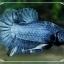 """(ขายแล้วครับ)""""คัดเกรด""""ปลากัดครีบสั้นแฟนซีน้ำเงิน-Fancy Blue Halfmoon Plakats thumbnail 3"""
