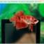 ปลากัดครีบสั้น-Halfmoon Plakat Fancy Red Koi thumbnail 1