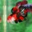 คัดเกรดปลากัดครีบสั้น-Halfmoon Plakad Premium Quality Grade Fancy Koi thumbnail 2