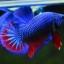 คัดเกรดปลากัดครีบสั้น-Halfmoon Plakad Fancy Dragon ฺBlue Red Qaulity Grade thumbnail 3