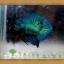 ปลากัดครีบสั้น-Super Green Halfmoon Plakats thumbnail 4