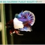 """(ขายแล้วครับ)""""คัดเกรดประกวด""""ปลากัดครีบสั้นหูช้าง-Halfmoon Plakats Big Ear Lavender Quality Grade thumbnail 11"""