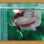 (ขายแล้วครับ)ปลากัดครีบสั้น - Fancy Halfmoon Plakats thumbnail 4