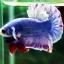"(Sold Out)""คัดเกรด""ปลากัดครีบสั้น-Halfmoon Plakats Grizzled thumbnail 11"