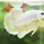 """(ขายแล้วครับ)""""คัดเกรด""""ปลากัดครีบสั้น-Halfmoon Plakats GoldDragon01 thumbnail 6"""