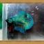 ปลากัดครีบสั้น-Super Green Halfmoon Plakats thumbnail 6