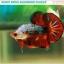 """""""คัดเกรด""""ปลากัดครีบสั้น-Halfmoon Plakats Fancy Dragon Devil Short Body thumbnail 4"""