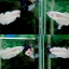 """(ขายแล้วครับ)""""คัดเกรด""""ปลากัดครีบสั้นตัวเมีย-Halfmoon Plakats White Platinum Female Grade AAA thumbnail 1"""