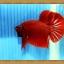 ปลากัดครีบสั้น - Halfmoon Plakats SUPER RED022 thumbnail 4