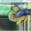 """""""คัดเกรด""""ปลากัดครีบสั้น-Halfmoon Plakats Fancy Green Mustard Grade A thumbnail 4"""