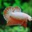 คัดเกรดปลากัดครีบสั้น-Halfmoon Plakad Fancy Orange Dragon Hi Quality Grade thumbnail 1
