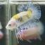 """(ขายแล้วครับ)""""คัดเกรด""""ปลากัดครีบสั้น-Halfmoon Plakats Fancy Yellow Koi thumbnail 3"""