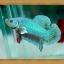 (ขายแล้วครับ)ปลากัดครีบสั้น - Fancy Halfmoon Plakats thumbnail 1