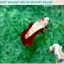 """(ขายแล้วครับ)มาแล้วสวยแปลก""""คัดเกรด""""ปลากัดครีบสั้น-Halfmoon Plakats Fancy Red Marble BF thumbnail 8"""