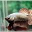 คัดเกรดปลากัดครีบสั้น-Halfmoon Plakad Copper Qaulity Grade thumbnail 1