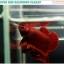 """(ขายแล้วครับ)""""คัดเกรด""""ปลากัดครีบสั้น-Halfmoon Plakats Super Red thumbnail 4"""