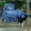 """(ขายแล้วครับ)""""คัดเกรด""""ปลากัดครีบสั้นแฟนซีน้ำเงิน-Fancy Blue Halfmoon Plakats thumbnail 5"""