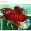 คัดเกรดปลากัดครีบสั้น-Halfmoon Plakat Red Koi Quality Grade thumbnail 3