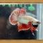 ปลากัดครีบสั้น - Halfmoon Plakats thumbnail 6