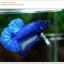 พิเศษ คัดเกรดปลากัดครีบสั้น-Halfmoon Plakat BLue Mustrad Grade AAA+ thumbnail 4