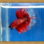 ปลากัดครีบยาว - Halfmoon thumbnail 7