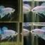 (ขายแล้วครับ)ปลากัดสวยงามทรงปลาป่า-Halfmoon Plakats Fancy thumbnail 1