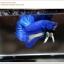 พิเศษ คัดเกรดปลากัดครีบสั้น-Halfmoon Plakat BLue Mustrad Grade AAA+ thumbnail 8