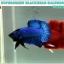 """(ขายแล้วครับ)""""คัดเกรด""""ปลากัดครีบสั้น-Halfmoon Plakats Super Green Black Head thumbnail 4"""